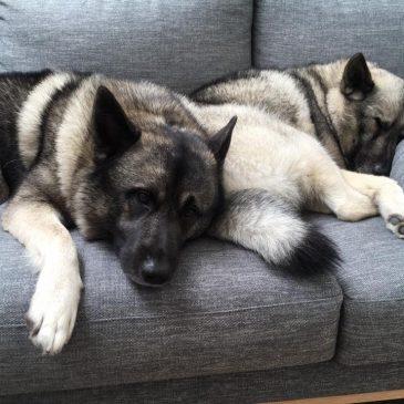 Bella & Bo ~ Elkhounds