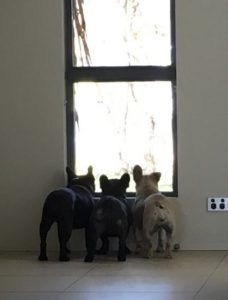 Image of Dee Dee with her Frenchie siblings after treatment at Animal Holistic Therapies
