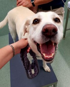 Image of Labrador being treated at Animal Holistic Therapies